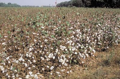 Cotton Field, West Africa